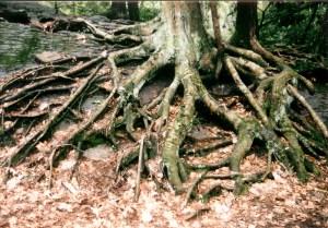fangorn tree 001