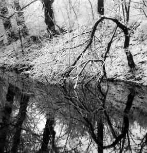 A tree drinks in winter