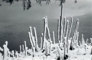 Snowy sumac stalks